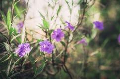 Ruellia tuberosa flower vintage Stock Image