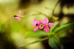 Ruellia tuberosa L 库存图片