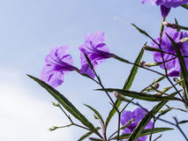 Ruellia tuberosa Linn. Toi ting Royalty Free Stock Photos