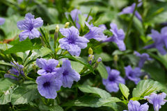 Ruellia tuberosa in natural environment. Ruellia tuberosa in a yard during a day Stock Photography