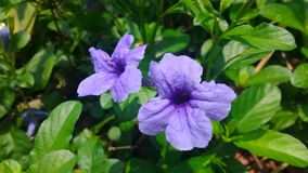 Ruellia tuberosa. Purple ruellia tuberosa flower on flowers at background Stock Images