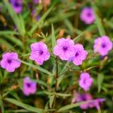 Ruellia-tuberosa Schöne purpurrote Blumen, die im Garde blühen Stockbilder