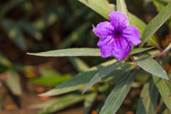Ruellia tuberosa. A species of flowering plant in the Acanthaceae family. Its native range is in Central America but presently it has become naturalized in many stock images