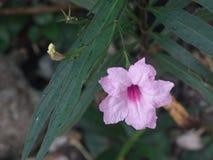 Ruellia tuberrosa linn,墨西哥喇叭花桃红色花  库存图片