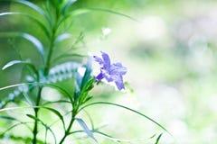 Ruellias-Blume Lizenzfreies Stockfoto