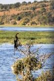 Rufa Anhinga, αφρικανικό darter, σε ένα δέντρο, εθνικό πάρκο Chobe, Μποτσουάνα Στοκ Φωτογραφίες