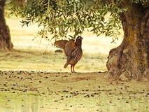 Rufa d'Alectoris - perdrix derrière une olive en Espagne photographie stock