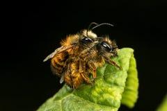Rufa de Osmia, acoplamiento de la abeja de albañil Fotos de archivo libres de regalías