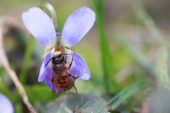 Rufa de Osmia o bicornis de Osmia, abeja de albañil roja - abeja salvaje en odorata de la viola o violeta de madera, dulce, inglé Imagen de archivo libre de regalías