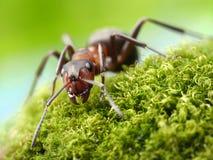 Rufa del formica de la hormiga Foto de archivo