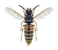 Rufa do Vespula da vespa Imagens de Stock Royalty Free