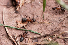 rufa europeo di colore rosso del formica della foresta delle formiche Immagini Stock