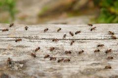 Rufa Formica μυρμηγκιών, επίσης γνωστό ως κόκκινο ξύλινο μυρμήγκι Στοκ Εικόνα