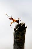 Rufa meridional del Formica de la hormiga de madera Imagen de archivo libre de regalías