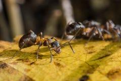 Rufa rojo de Forest Ant Formica Imágenes de archivo libres de regalías