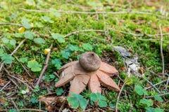 Rufescens attrayants de Geastrum d'earthstar dans la mousse verte image libre de droits