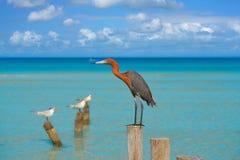 Rufescens dell'egretta o uccello rossastro dell'airone dell'egretta Fotografie Stock