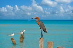 Rufescens dell'egretta o uccello rossastro dell'airone dell'egretta Fotografia Stock