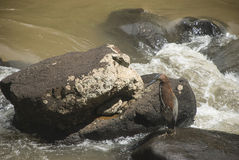 Rufescent Tiger Heron Royalty Free Stock Images
