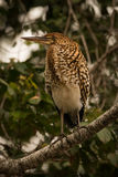 Rufescent tiger heron on branch in profile Royalty Free Stock Photo