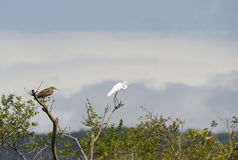 Rufescent Tiger-Heron and Great Egret, Costa Rica Stock Photo