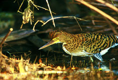 Rufescent tiger-heron juvenile in Peru Stock Photography