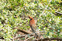 Rufescent tiger heron on the nature in Pantanal, Brazil Royalty Free Stock Photography