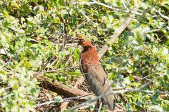 Rufescent tiger heron on the nature in Pantanal, Brazil Stock Photos
