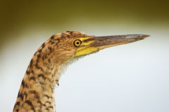 Rufescent Tiger-Heron Stock Photo