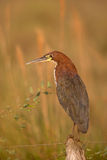 Rufescent Tiger-Heron Stock Image