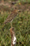 Rufescent tiger-heron, Tigrisoma lineatum Stock Image