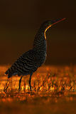 Rufescent Tiger-Heron, Tigrisoma lineatum, motteled bird with evening back light, in the nature habitat, Pantanal, Brazil Royalty Free Stock Image