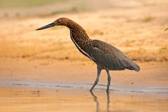 Rufescent Tiger-Heron, Tigrisoma lineatum, motteled bird with evening back light, in the nature habitat, Pantanal, Brazil. Water b. Ird in nature, Heron and Royalty Free Stock Photography