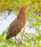Rufescent Tiger Heron Stock Image