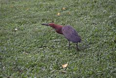 Rufescent tiger heron Tigrisoma lineatum. Is a species of heron in the family Ardeidae is a species of heron in the family Ardeidae Stock Photography