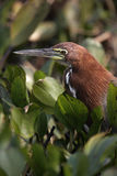 Rufescent tiger-heron, Tigrisoma lineatum,. Single bird head shot, Brazil Stock Images