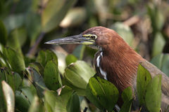 Rufescent tiger-heron, Tigrisoma lineatum, Royalty Free Stock Photography