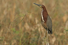 Rufescent tiger-heron, Tigrisoma lineatum Stock Photos