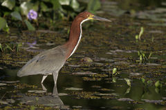 Rufescent tiger-heron, Tigrisoma lineatum,. Single bird in water, Brazil Royalty Free Stock Photos