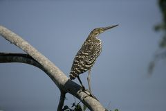 Rufescent tiger-heron, Tigrisoma lineatum,. Single juvenile on branch, Brazil Royalty Free Stock Photography