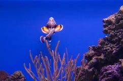 Ruff-рыбы Стоковые Фотографии RF
