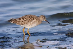 Ruff. ( philomachus pugnax) searching for food on blue water Stock Photography
