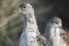 Ruff. The detail of male ruff (Philomachus pugnax) in the winter plumage Stock Photos