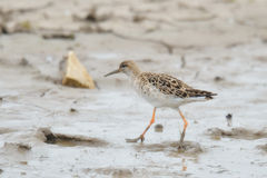 The ruff. On the shore Stock Image
