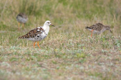 Ruff. Bird in the field Stock Photography