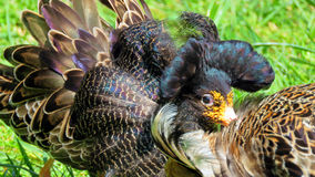 Ruff bird Calidris pugnax Stock Photo