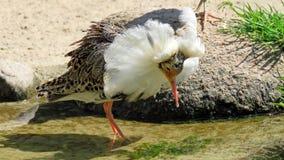 Ruff bird Calidris pugnax Stock Photos