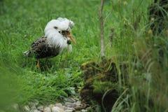 Ruff dans le plumage d'élevage Image libre de droits