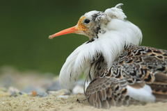 Ruff detail. The detail of ruff in breeding plumage Stock Photos