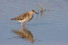 Ruff female. Ruff (philomachus pugnax) female standing in water Stock Photos